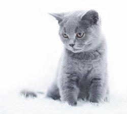 Bild zeigt graue Katze auf weißem Hintergrund.