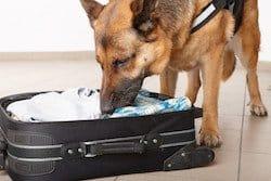 Bild zeigt einen Suchhund, der an einem Handgepäckstück schnüffelt